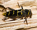 Wood borer - Neoclytus caprea