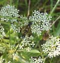 Ichneumonidae sp - Spilopteron franclemonti - female