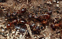 wingless queens and workers - Myrmica rubra - female