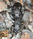 Greater Night-stalking Tiger Beetles Mating - Omus dejeanii - male - female