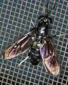 Fly (wasp mimic) - Hermetia illucens
