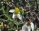 Bee on Desert Zinnia - Agapostemon
