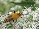 Please ID, beetle? - Chauliognathus pensylvanicus
