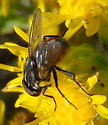 Unknown Fly - Musca