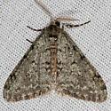 Small Phigalia Moth - Phigalia strigataria