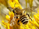 Subgenus Megachiloides - Megachile