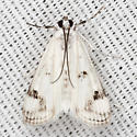 Polymorphic Pondweed Moth - Hodges #4759 - Parapoynx maculalis
