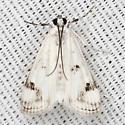 Polymorphic Pondweed Moth - Hodges #4759 - Parapoynx maculalis