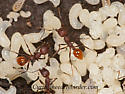 3015614 Aphaenogaster tennesseensis~ - Aphaenogaster - female