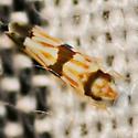 Erythroneura Leafhopper - Erythroneura calycula