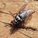 Root-Maggot Fly (Anthomyia) - Anthomyia procellaris - male