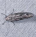 Unknown Tiny Moth - Ethmia