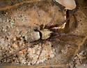Ground Spider? - Callilepis - male