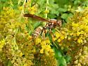 A Eumenes species? - Polistes fuscatus