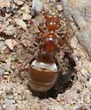 Red banded Ant - Myrmecocystus