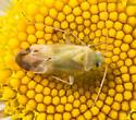 Plant Bug - Megalocoleus molliculus