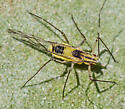 aphid - Calaphis