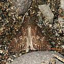 Hop Vine Moth - Hypena humuli