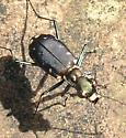 Tiger Beetle - P7019695 - Cicindelidia rufiventris