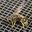 Wasp on screen - Ancistrocerus