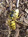 Evicting larvae - Vespula germanica - female
