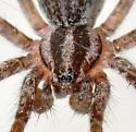Agelenopsis? male - male