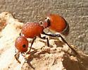 Unknown Velvet Wasp - Sphaeropthalma pensylvanica - female