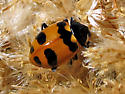 Oregon lady beetle? - Hippodamia