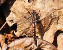 Blue Corporal on leaf litter - Ladona deplanata