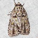 Ovate Dagger Moth - Acronicta ovata