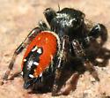 Jumping spider - Phidippus carneus