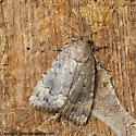 Moth Id - Amphipyra pyramidoides