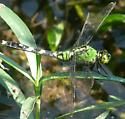 Green Dragonfly - Erythemis simplicicollis - female