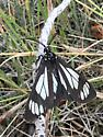 Lepidoptera - Gnophaela vermiculata