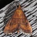 Variable Reddish Pyrausta - Pyrausta rubricalis