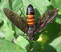 Fly - Mydas chrysostomus - female