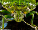 Green Stink Bug - Chinavia hilaris? - Banasa euchlora