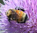 MT206 - bee - Bombus huntii