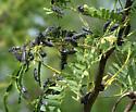 Coleoptera-Meloidae-Epicauta pardalis - Epicauta pardalis