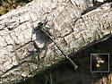 Lilypad Clubtail - Arigomphus furcifer - male