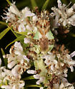 PhymatinaeX2 - Phymata americana - male - female