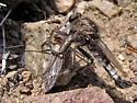 Robberfly - Efferia okanagana