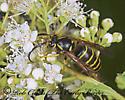 208610 - Dolichovespula norvegicoides - male