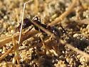 unidentified Harvester Ant - Veromessor andrei - female