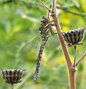 unidentified dragonfly640 - Aeshna umbrosa