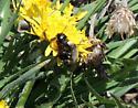 Mating mason bees - Osmia - male - female