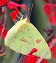 What species and gender? - Phoebis sennae - female