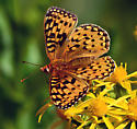 Great Spangled Fritillary? - Speyeria