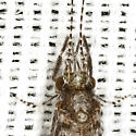 Beautiful Caddisfly