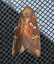 Borer Moth - Papaipema